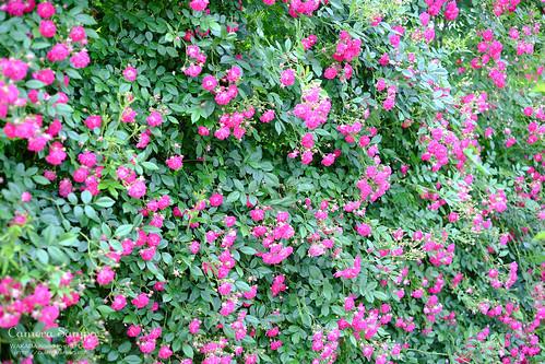 薔薇 20150522-DSCF3518