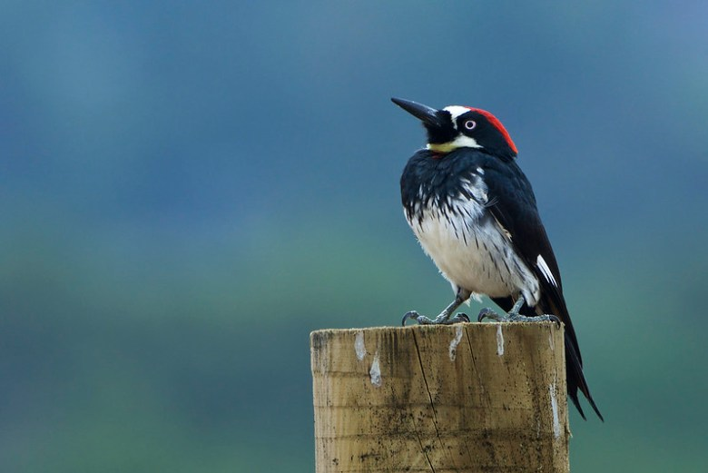 Male Acorn Woodpecker (Melanerpes formicivorus)
