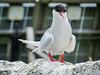 Arctic Tern close-up (1)