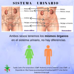 Aparato urinario: órganos que lo forman