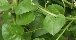 Mengatasi Diabetes Melitus dengan Daun Binahong  (Anredera cordifolia (Ten.) Steens)
