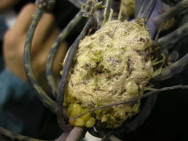 A gall is a knobby growth caused by a foreign intruder such as a bacteria, is shown in this photo.