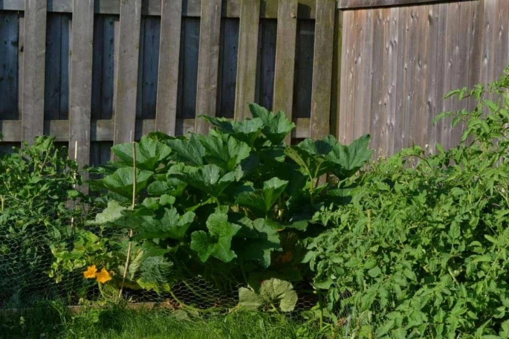 The zucchini growing in Farmer Jer's yard in 2019 is shown in this file photo.
