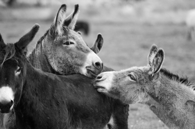 Black and White photo of three donkeys