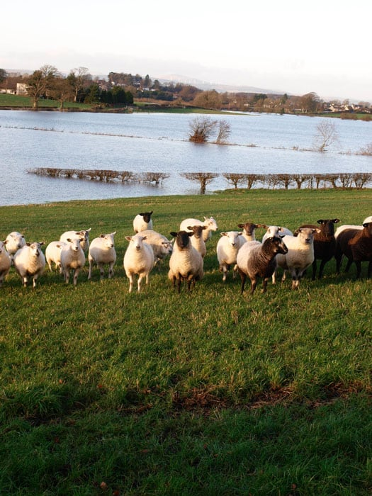 Sheep are safe on the high ground when the river floods