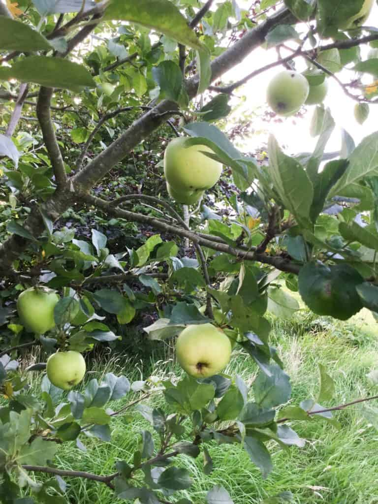 Apples on my tree to make Blackberry and Apple Crumble