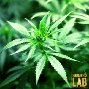Cannabis Seeds Shipped Directly to Your Door in Chibougamau, QC. Farmers Lab Seeds is your #1 supplier to growing Cannabis in Chibougamau, Quebec.