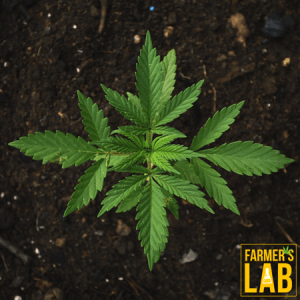 Cannabis Seeds Shipped Directly to Your Door in Island Lake, IL. Farmers Lab Seeds is your #1 supplier to growing Cannabis in Island Lake, Illinois.