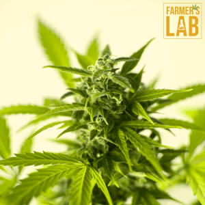 Cannabis Seeds Shipped Directly to Your Door. Farmers Lab Seeds is your #1 supplier to growing Cannabis in New Brunswick.