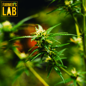 Cannabis Seeds Shipped Directly to Your Door in Springfield, NJ. Farmers Lab Seeds is your #1 supplier to growing Cannabis in Springfield, New Jersey.