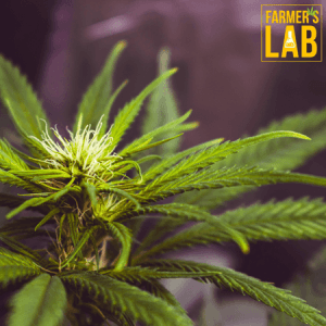 Cannabis Seeds Shipped Directly to Your Door in Varennes, QC. Farmers Lab Seeds is your #1 supplier to growing Cannabis in Varennes, Quebec.