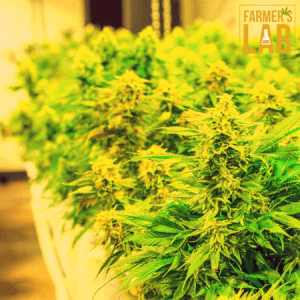 Marijuana Seeds Shipped Directly to Your Door. Farmers Lab Seeds is your #1 supplier to growing Marijuana in Alabama.