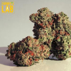 Marijuana Seeds Shipped Directly to Demopolis, AL. Farmers Lab Seeds is your #1 supplier to growing Marijuana in Demopolis, Alabama.