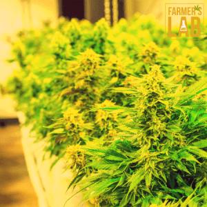 Marijuana Seeds Shipped Directly to Karratha, WA. Farmers Lab Seeds is your #1 supplier to growing Marijuana in Karratha, Western Australia.