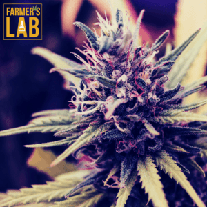 Marijuana Seeds Shipped Directly to Markham, ON. Farmers Lab Seeds is your #1 supplier to growing Marijuana in Markham, Ontario.