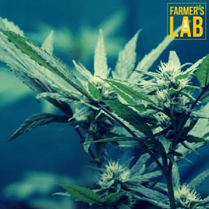 Marijuana Seeds Shipped Directly to Your Door. Farmers Lab Seeds is your #1 supplier to growing Marijuana in Nebraska.