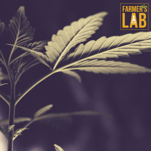 Marijuana Seeds Shipped Directly to Saint-Hyacinthe, QC. Farmers Lab Seeds is your #1 supplier to growing Marijuana in Saint-Hyacinthe, Quebec.