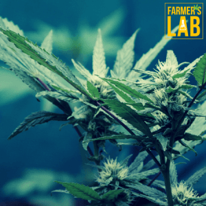 Marijuana Seeds Shipped Directly to Thorold, ON. Farmers Lab Seeds is your #1 supplier to growing Marijuana in Thorold, Ontario.