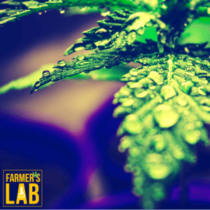 Weed Seeds Shipped Directly to East Cleveland, OH. Farmers Lab Seeds is your #1 supplier to growing weed in East Cleveland, Ohio.
