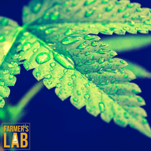 Weed Seeds Shipped Directly to Longueuil, QC. Farmers Lab Seeds is your #1 supplier to growing weed in Longueuil, Quebec.