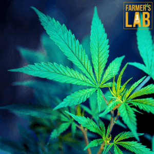 Weed Seeds Shipped Directly to Prince George, BC. Farmers Lab Seeds is your #1 supplier to growing weed in Prince George, British Columbia.