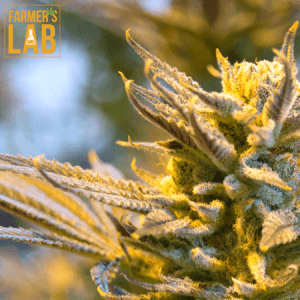 Weed Seeds Toronto, ON. Farmers Lab Seeds is your #1 supplier to growing weed in Toronto, Ontario.
