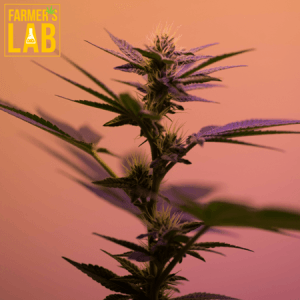 Weed Seeds Shipped Directly to Waterloo, QC. Farmers Lab Seeds is your #1 supplier to growing weed in Waterloo, Quebec.