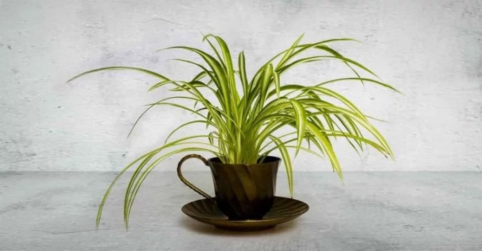 According to the landmark NASA Clean Air Study, spider plants remove about 90 percent of formaldehyde (commonly found in household adhesives and grouts) from the air, in addition to odors and fumes. This one is a total must-have if you can't.stop.remodeling.