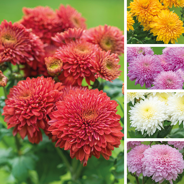 Chrysanthemum is a popular insect-repelling plant and can repel ants, Japanese beetles, fleas, spider mites etc from your garden.