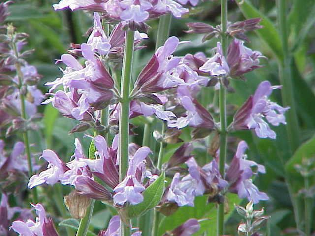 Perennial Herbs: 9 Herbs That Grow In The Heat - SAGE, SALVIA OFFICINALIS