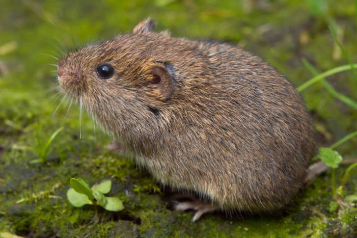 10 Worst Garden Pests: Voles