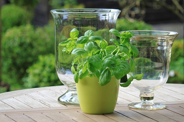 Basil has innumerable qualities. It is a delicious herb and keeps spiders and houseflies out of your way.