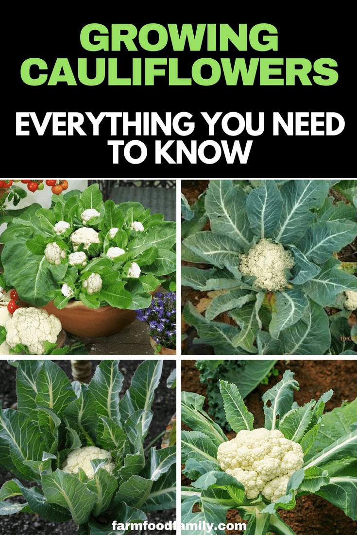 Check out the ultimate guide to how to grow cauliflower #cauliflower #vegetable #gardeningtips #farmfoodfamily