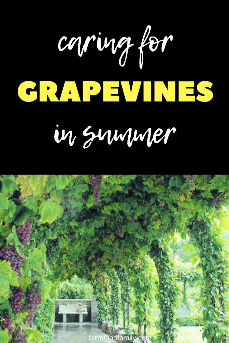 Keep vines under control to get more grapes #gardeningtips #garden #farmfoodfamily