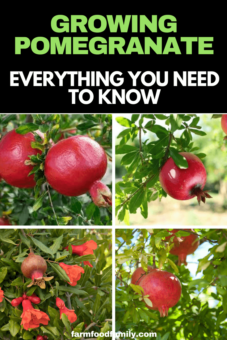 Pomegranates are easy to grow and seem to adapt well to Australian conditions. Grow them in a warm, sunny spot and pay some attention to watering in spring to aid fruit setting. #gardeningtips #pomegranate #farmfoodfamily
