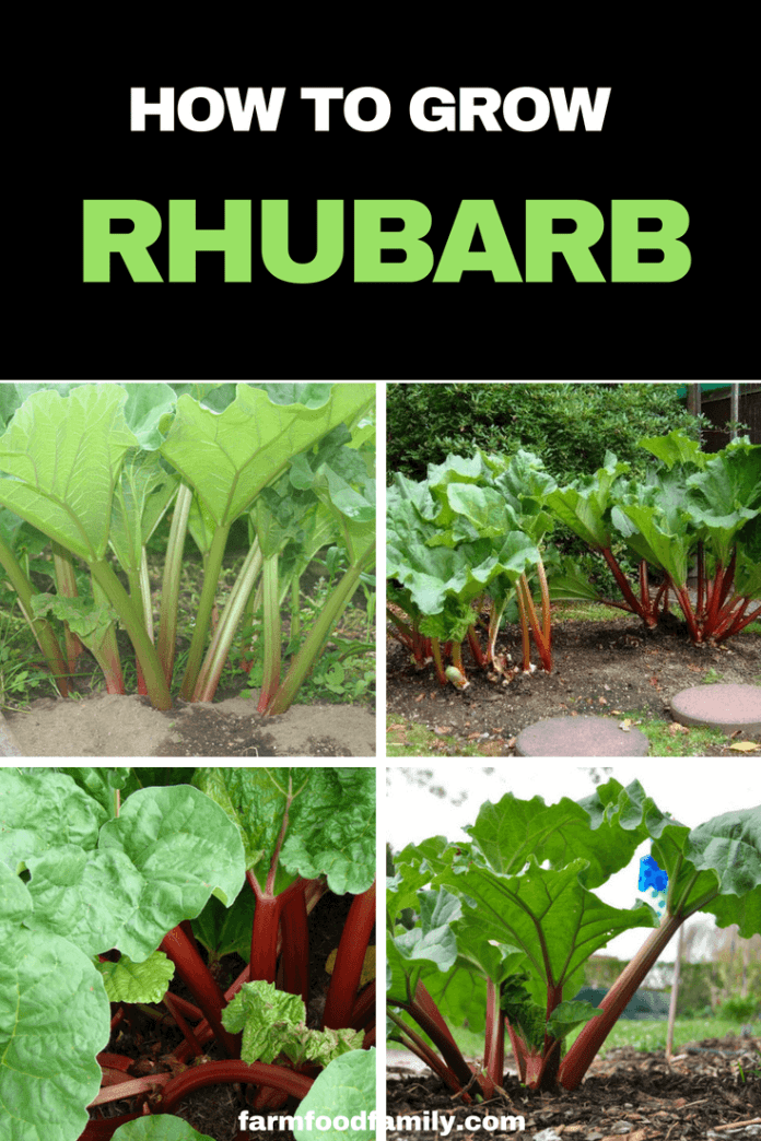How to grow and harvest Rhubarb. Rhubarb stalks are at their best in spring and summer, but in very hot climates may grow better in the cooler, drier months. #vegetablegarden #growingrhubarb #gardeningtips #farmfoodfamily
