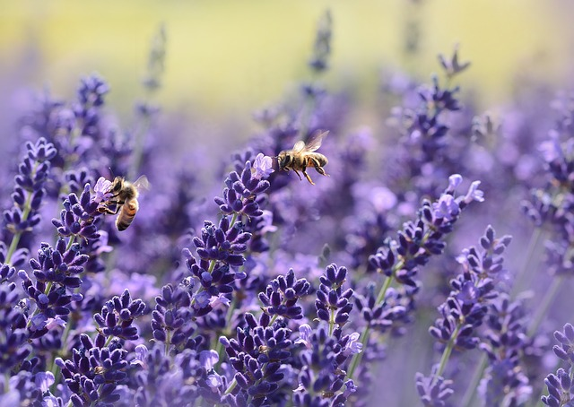 Lavender is yet another warm plant for your garden in order to keep the ants away. It is very appealing in its appearance and scary for the ants and other garden insects.