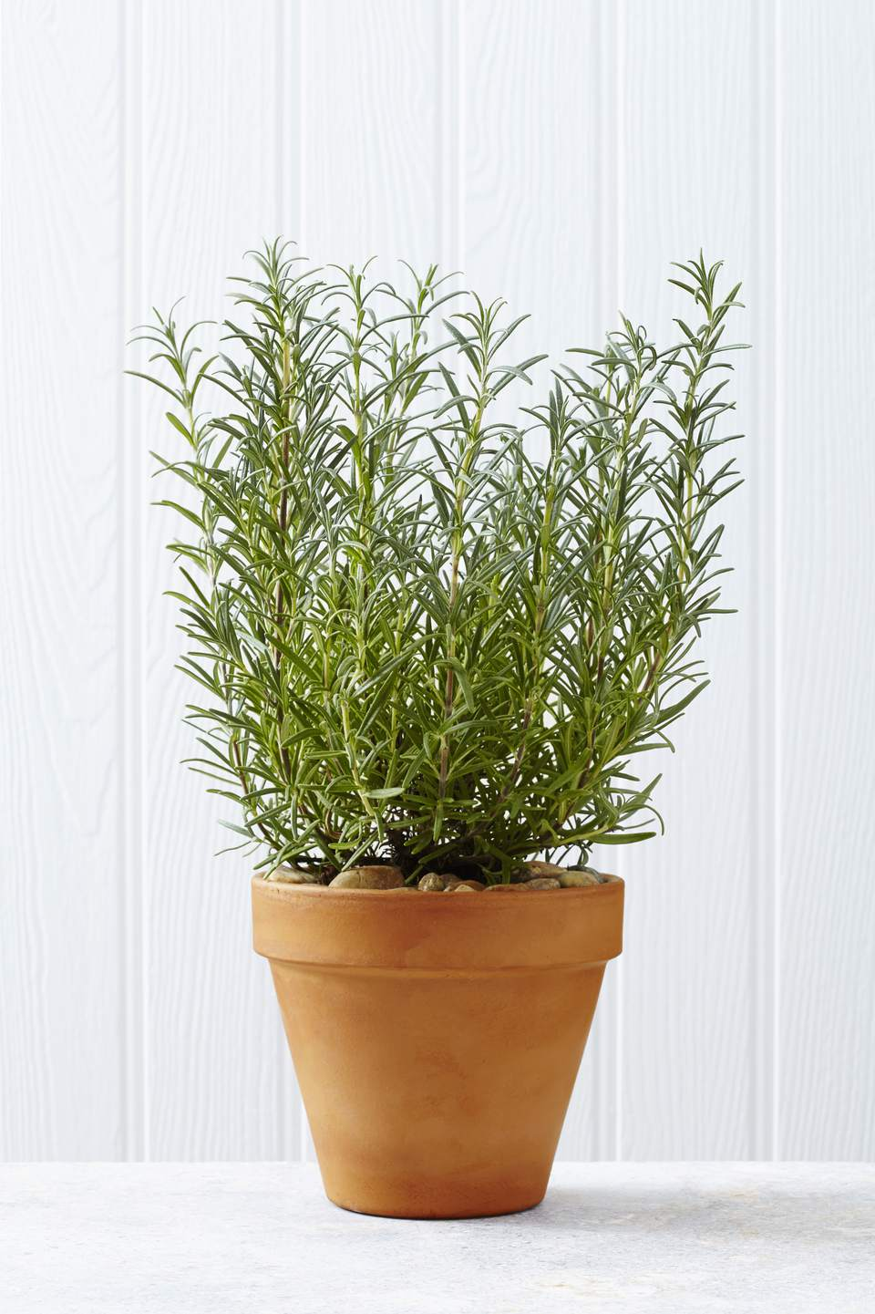 Rosemary is one of the popular plants of the herb garden, helps to fight the insects such as ants.