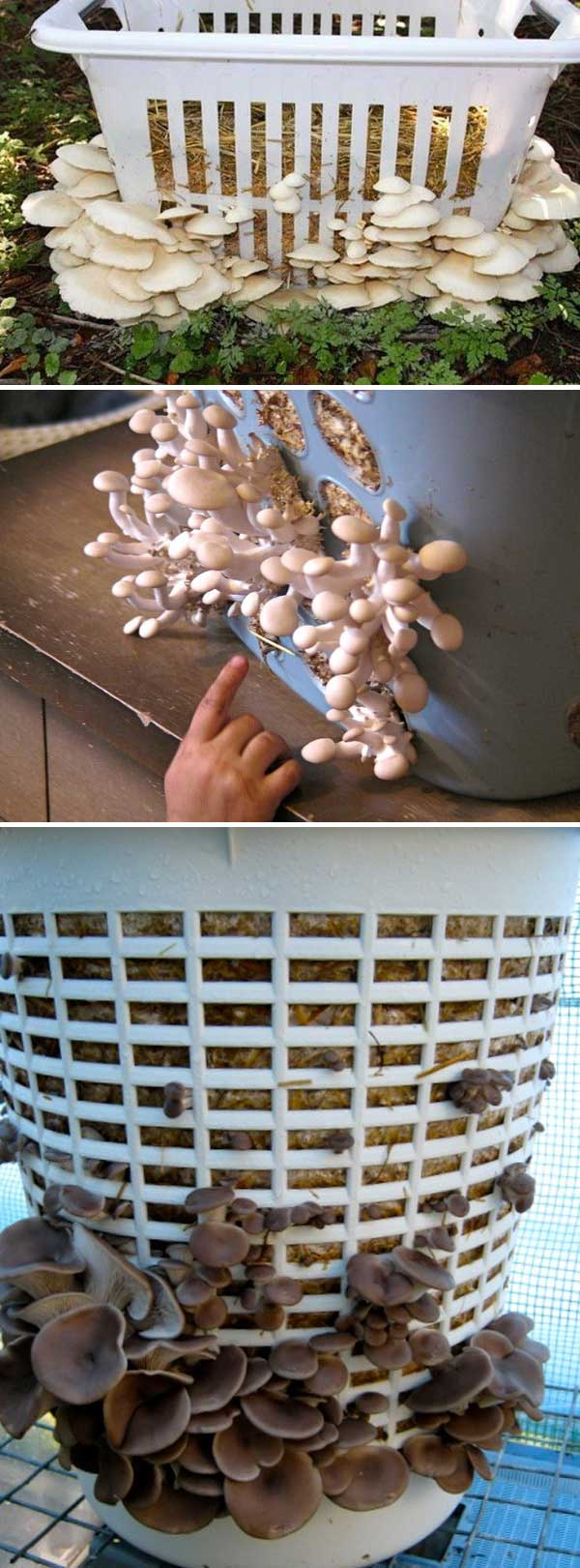 Grow Mushrooms in a Laundry Basket | Clever Gardening Ideas on Low Budget