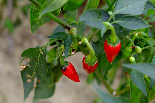 Growing red chili