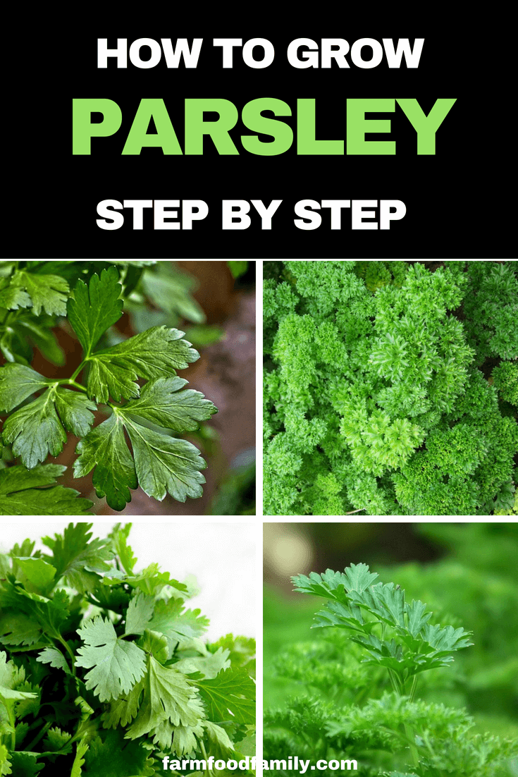 How to grow Parsley at home