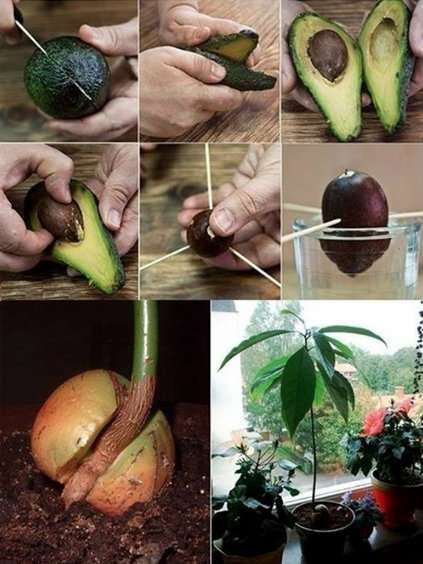 Grow An Avocado Tree for Endless Organic Avocados