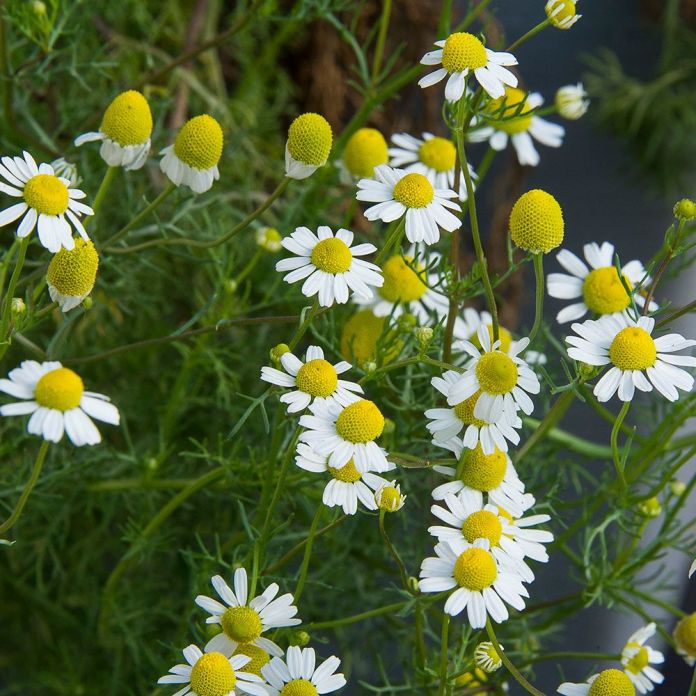 German Chamomile (Matricaria recutita): Garden Herbs that Grow in the Shade