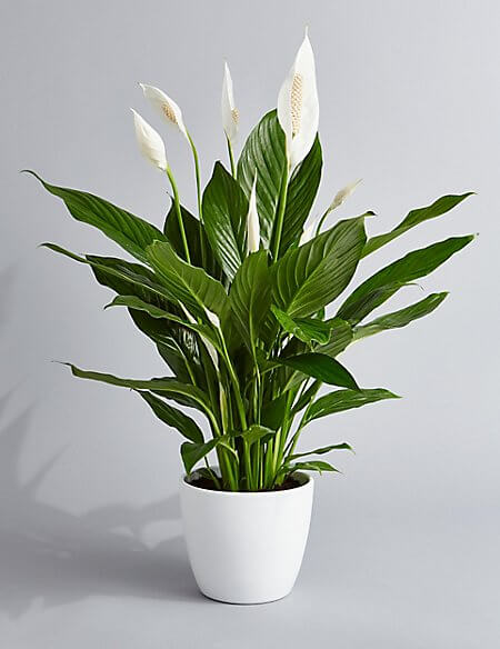 Peace Lily: Breathe Easy with an Indoor Garden: Improve the Air Quality and Charm of Your Home with Houseplants