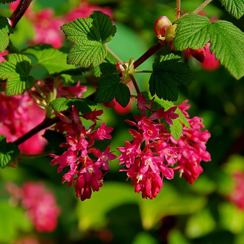 Ribes sanguineum or flowering currant | Shrubs to Grow in Dry Shade