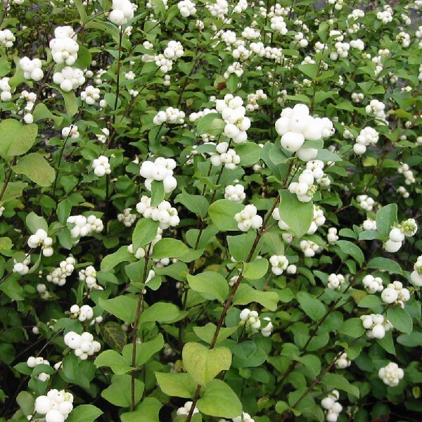 Symphoricarpos or Snowberry | Shrubs to Grow in Dry Shade