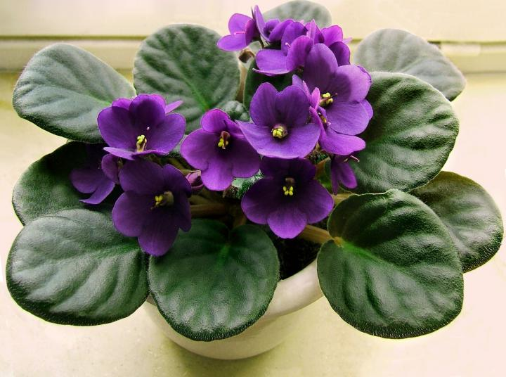 African violet houseplant | Winter Flower Garden Indoors: Blooming Plants to Grow In the House during Cold Weather Months | FarmFoodFamily.com