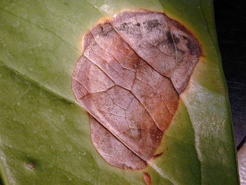 Anthurium pest