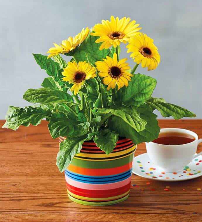 Gerbera Daisy: Breathe Easy with an Indoor Garden: Improve the Air Quality and Charm of Your Home with Houseplants