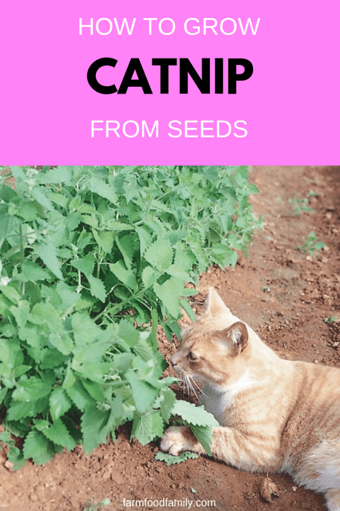 Growing Organic Catnip for Pets and for Medicine